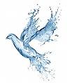 יונת מים