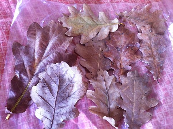 Oak leavesעלי אלון - 1