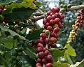 פולי קפה ירוק Colombia Supremo