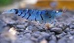 שרימפס טייגר כחול