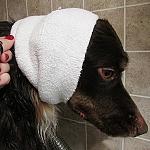 'קפוצ'ון' לכיסוי אוזני הכלבים גם בזמן היבוש